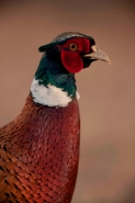 Ring-necked pheasant - Phasianus colchicus - Arizona