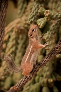 Harris' Antelope Squirrel (Ammospermophilus harrisi) - Arizona