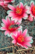 Native Bee on Pin Cushion Cactus Blossum (Echinocactus spp) - Ar