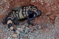 Gila monster -Heloderma suspectum - Sonoran desert - Arizona - d
