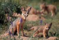 Kit Fox (Vulpes macrotis) With Young - Arizona