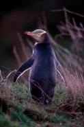 Yellow-eyed Penguin (Megadyptes antipodes) - New Zealand