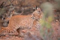 Bobcat (Lynx rufus) - Arizona
