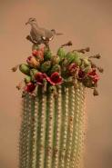 White-winged Dove (Zenaida asiatica) - Arizona