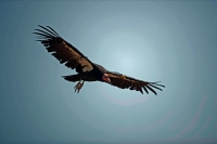 California Condor-Arizona