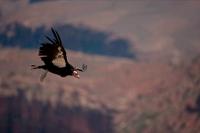 California Condor-Arizona - USA
