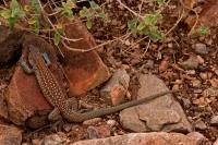 Sonoran Spotted Whiptail (Cnemidophorus sonorae) - Arizona - USA