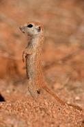 Roundtail Ground Squirrel Young (Citellus tereticaudus) - Arizon