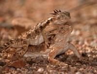 Regal Horned Lizard (Phrynosoma solare) - Arizona -Pair mating-