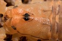 Bark Scorpion (Centruroides exilicauda) -Closeup of head -  Ariz
