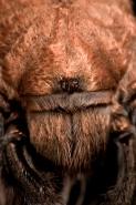 Desert Tarantula Close-up of Eyes - (Aphonopelma spp.) Sonoran D