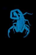 Bark Scorpion Under UV Light (Centruroides exilicauda) -Photogra