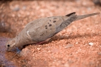 Mourning Dove (Zenaida macroura) - Drinking - Arizona