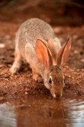 Desert Cottontail - Sylvilagus auduboni - Arizona