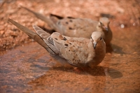 Mourning Dove (Zenaida macroura) - Bathing - Arizona