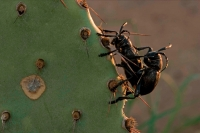 Long-horned Cactus Beetles Mating (Moneilema gigas) - Sonoran De