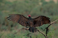 Turkey Vulture (Cathartes  aura) - Arizona
