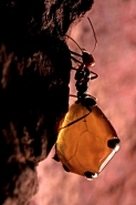 Honey Pot Ant (Myrmecocystus spp) - Arizona