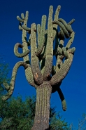 Saguaro Cactus (Carnegiea gigantea) Arizona - USA