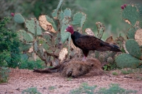 Turkey Vulture (Cathartes aura) on Javelina (Tayassu tajacu)