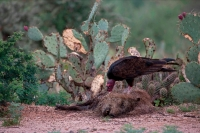 Turkey Vulture (Cathartes aura) Feeding on Javelina (Tayassu ta