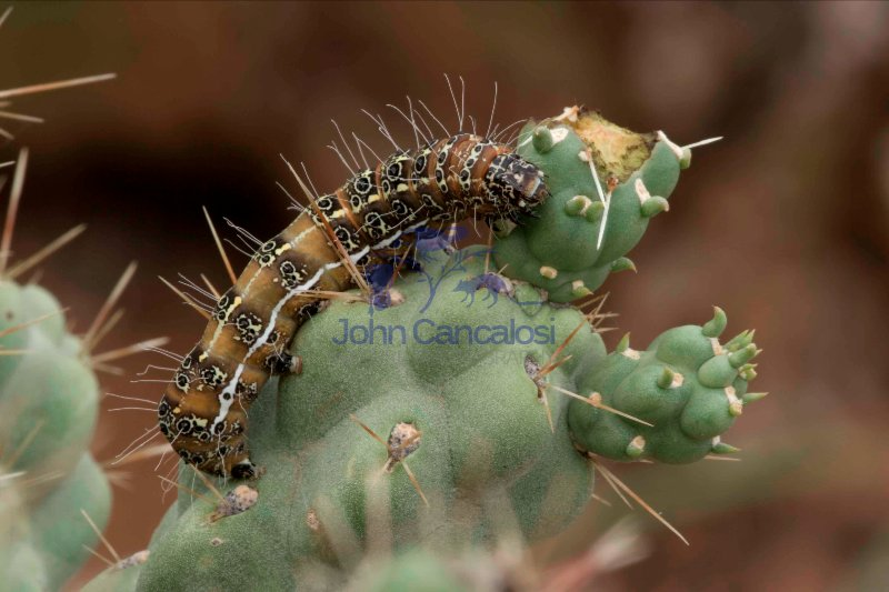 Caterpillar of the Cholla Moth (Euscirrhopterus cosyra) on Choll