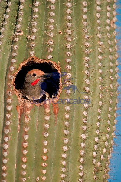 Gilded Flicker (Colaptes chrysoides) in Nest in Saguaro Cactus