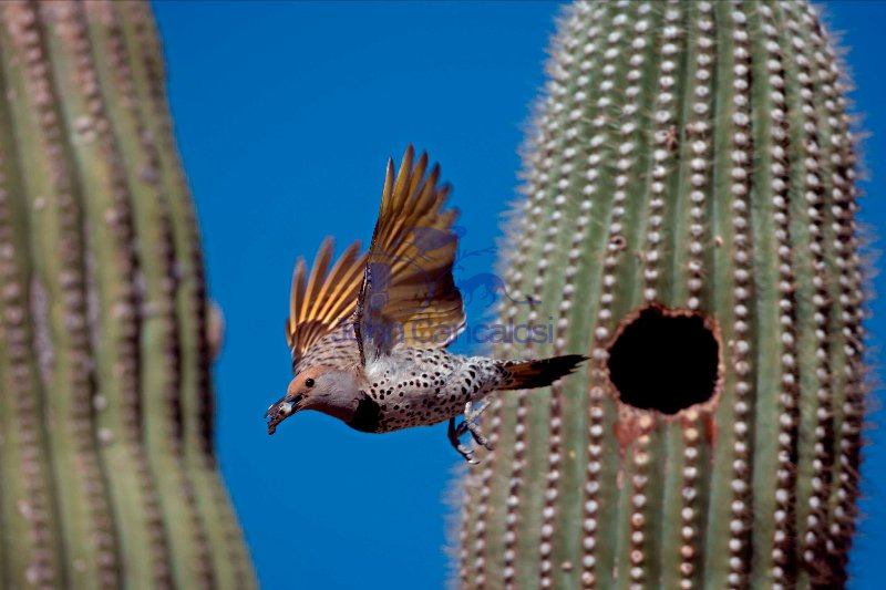 Gilded Flicker (Colaptes chrysoides) Flying from Nest Wtih Fecal