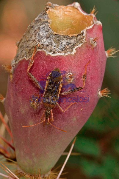 Leaf-footed Bug (Narnia inornata) on Prickly Pear Fruit (Opuntia