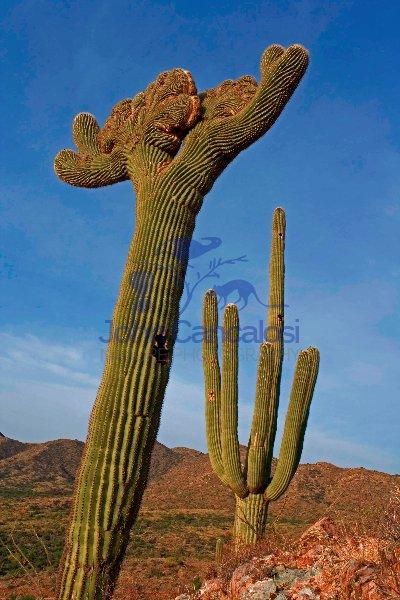 Saguaro Cactus  - Cristate Form - Sonoran Desert - Arizona - USA