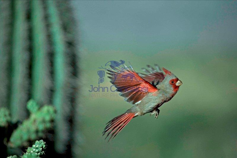 Pyrrhuloxia (Cardinalis sinuatus) - Arizona