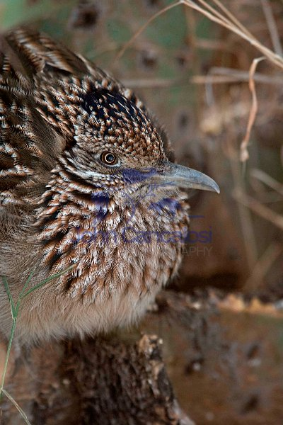 Greater Roadrunner (Geococcyx californianus) - Arizona