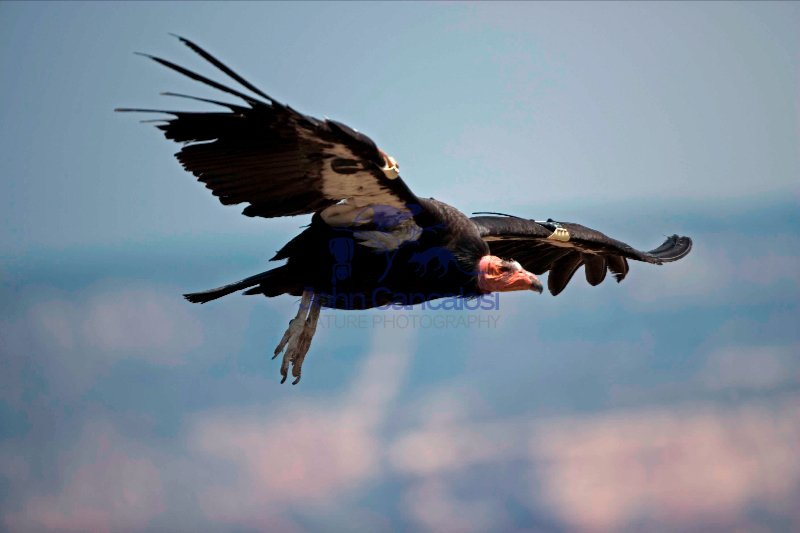California Condor-Arizona - USA
