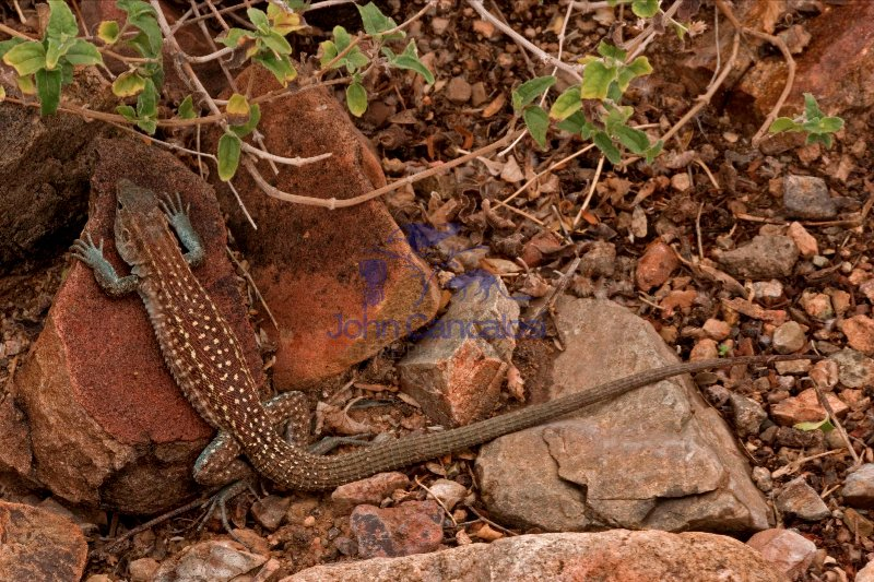 Sonoran Spotted Whiptail (Cnemidophorus sonorae) - Arizona - USA