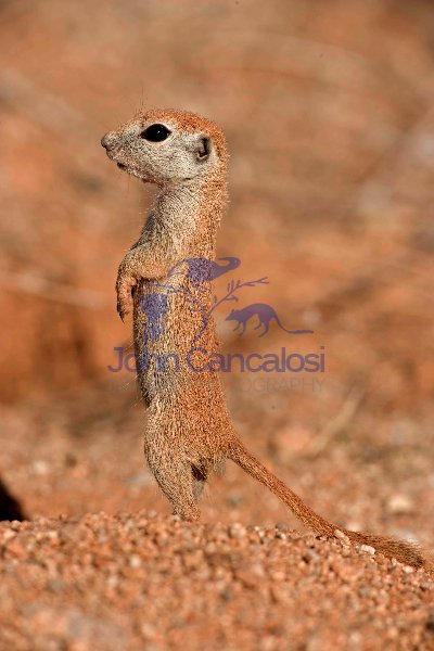 Roundtail Ground Squirrel Young (Citellus tereticaudus) - Arizon