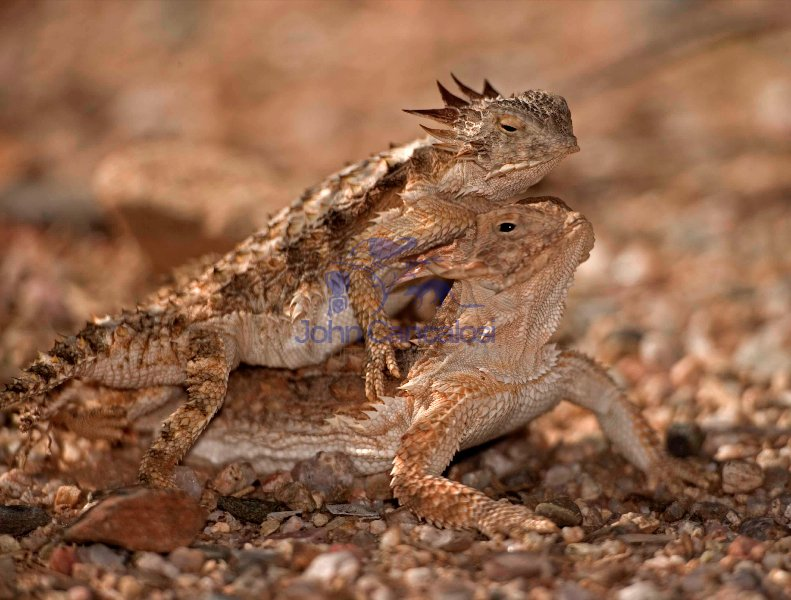 Regal Horned Lizard (Phrynosoma solare) - Arizona -Pair mating-