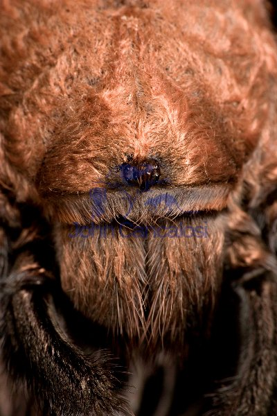 Desert Tarantula Close-up of Eyes - (Aphonopelma spp.) Sonoran D
