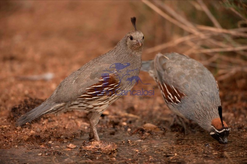 Gambel\'s Quail  (Callipepla gambelii) - Male and Female -  Arizo