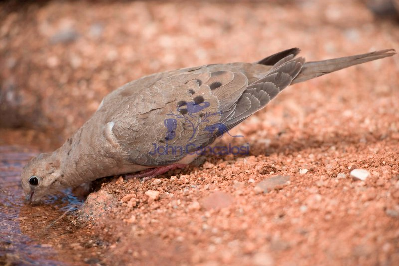 Mourning Dove (Zenaida macroura) - Drinking - Arizona