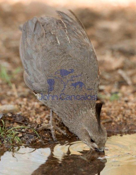 Gambel\'s Quail  (Callipepla gambelii) Drinking - Arizona