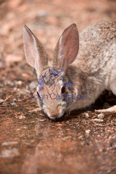 Desert Cottontail (Sylvilagus auduboni) -Drinking from temporary