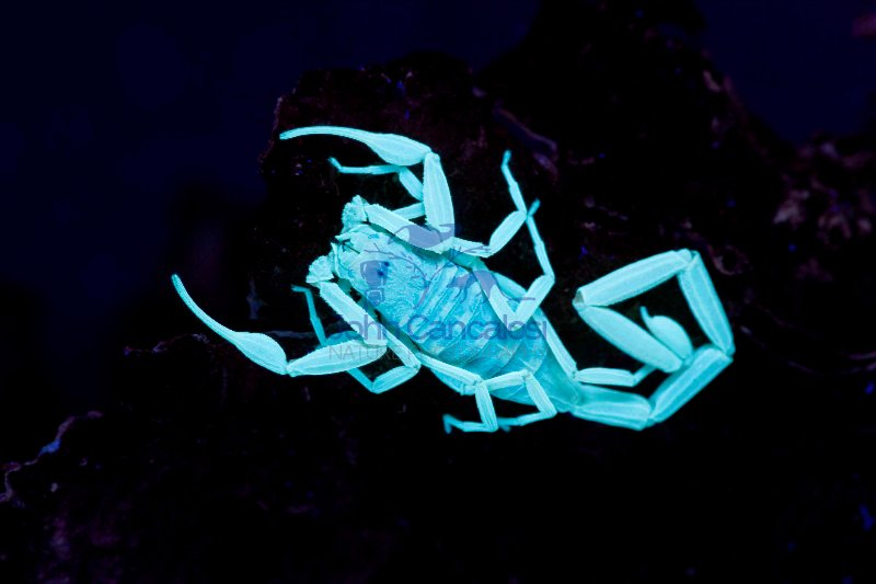 Bark Scorpion Under UV Light (Centruroides exilicauda) -Photogra
