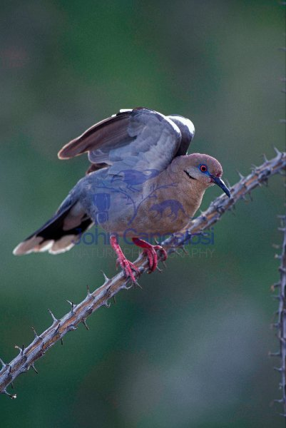 White-winged Dove (Zenaida asiataica) - Sonoran Desert - Arizona
