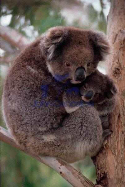 Koala  (Phascolarctos cenereus) - Australia