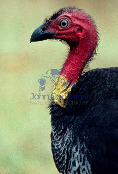 Brush-Turkey (Alectura lathami) - Australia