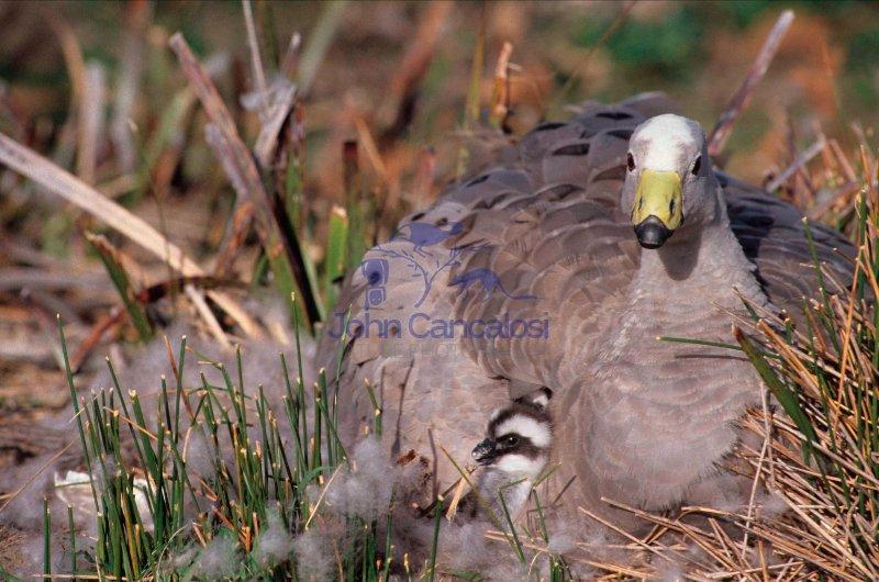 Cape Barren Geese (Cereopsis novaehollandiae) - Australia