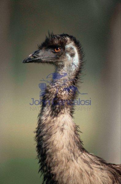 Emu (Dromaius novaehollandiae) - Australia