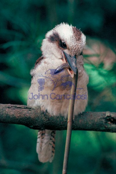 Laughing Kookaburra (Dacelo gigas) with legless lizard - Austral