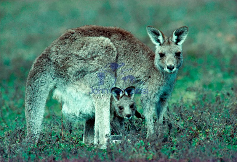 Eastern Grey Kangaroo (Macropus giganteus) - Australia - Mother