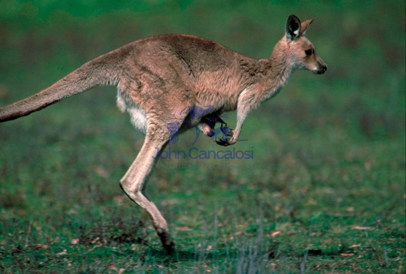 Eastern Grey Kangaroo (Macropus giganteus) - Australia